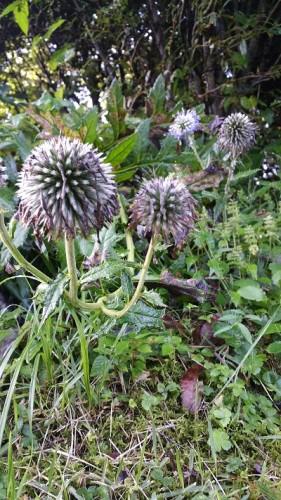 9月中旬くらいのヒゴタイの花